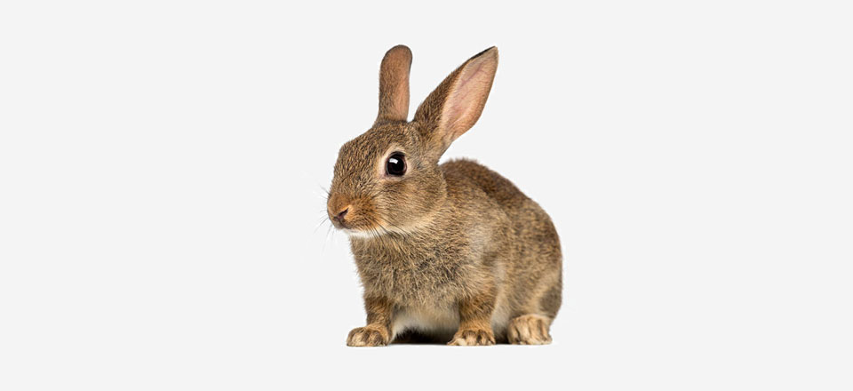 Kastrace králíka v inhalační narkóze